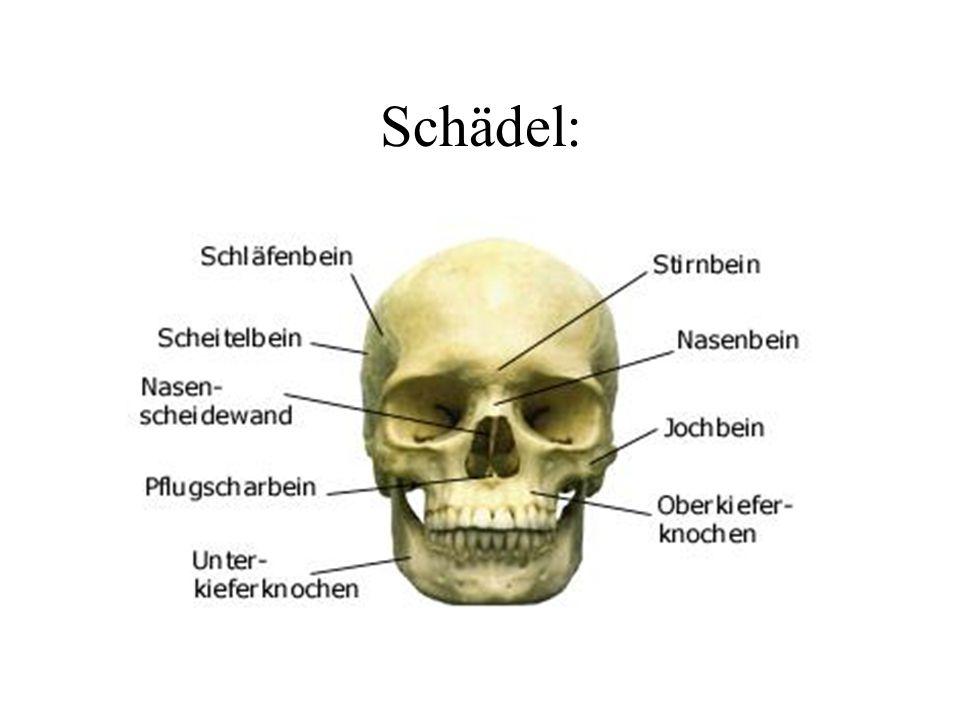 Schädel: