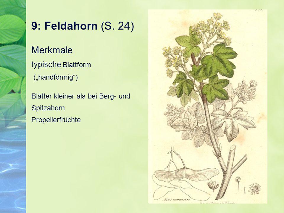 """9: Feldahorn (S. 24) Merkmale typische Blattform (""""handförmig )"""