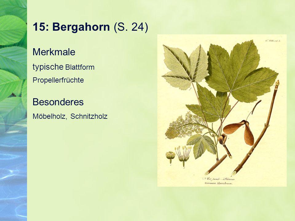 15: Bergahorn (S. 24) Merkmale typische Blattform Propellerfrüchte