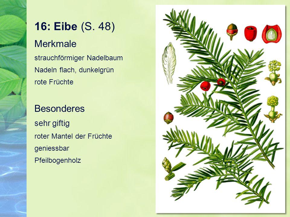 16: Eibe (S.