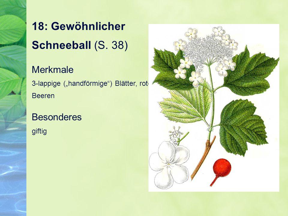 18: Gewöhnlicher Schneeball (S. 38)