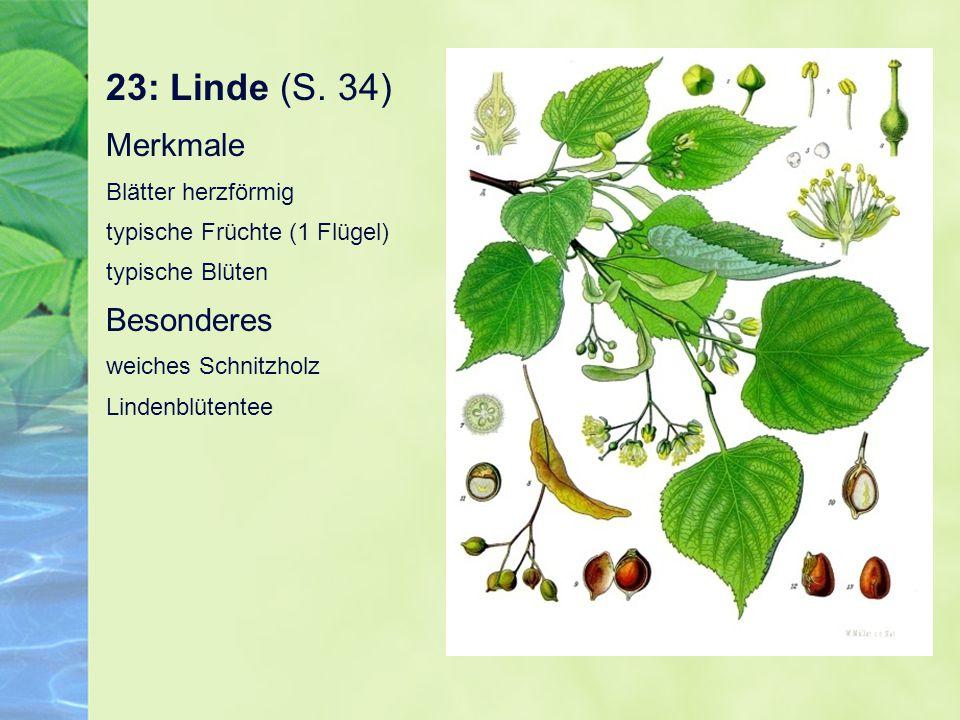 23: Linde (S.