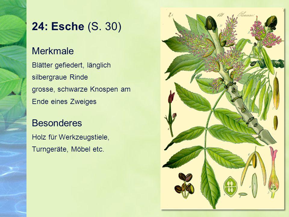 24: Esche (S. 30) Merkmale Blätter gefiedert, länglich silbergraue Rinde grosse, schwarze Knospen am Ende eines Zweiges.