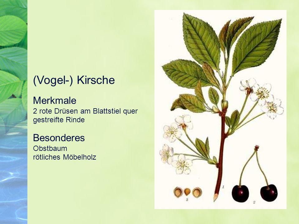 (Vogel-) Kirsche Merkmale 2 rote Drüsen am Blattstiel quer gestreifte Rinde.