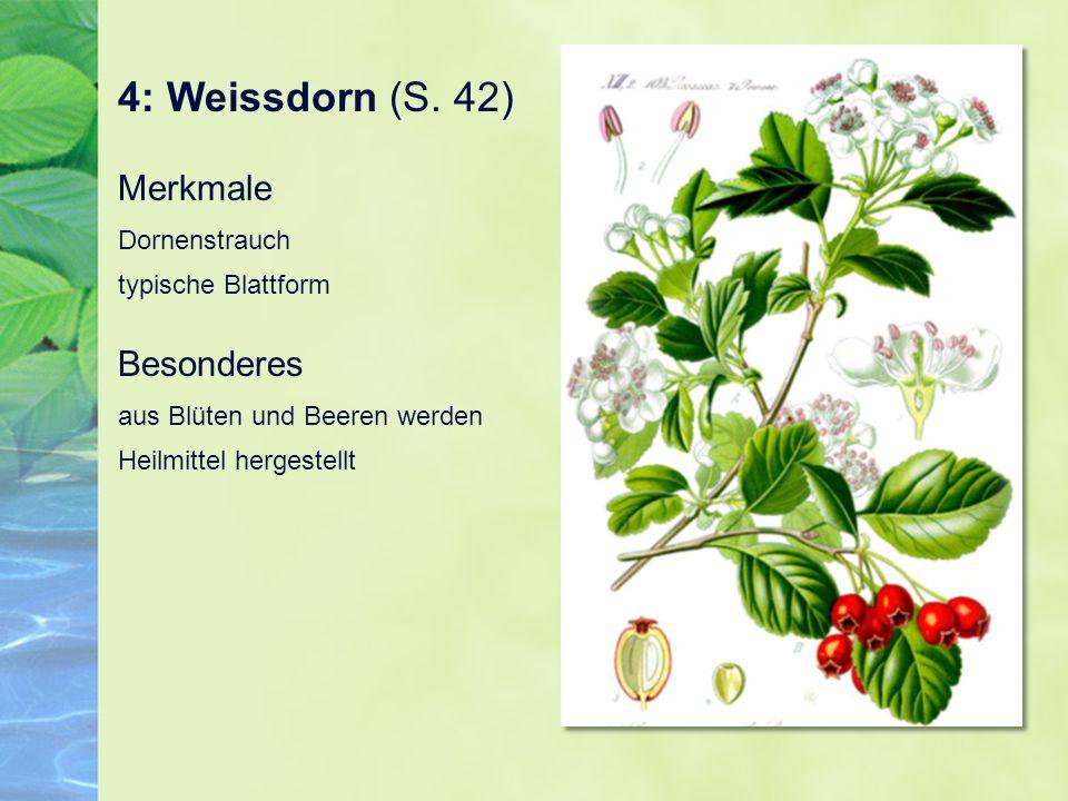 4: Weissdorn (S. 42) Merkmale Dornenstrauch typische Blattform