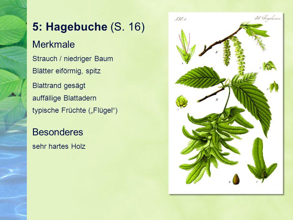 5: Hagebuche (S. 16) Merkmale Strauch / niedriger Baum Blätter eiförmig, spitz