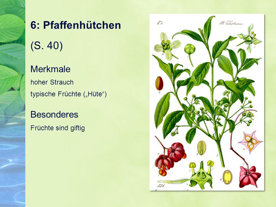 6: Pfaffenhütchen (S.