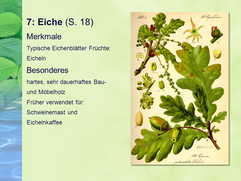 7: Eiche (S.