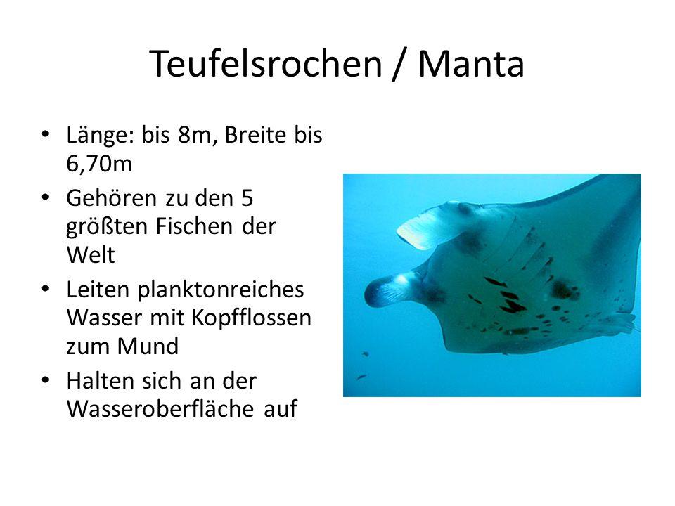 Teufelsrochen / Manta Länge: bis 8m, Breite bis 6,70m
