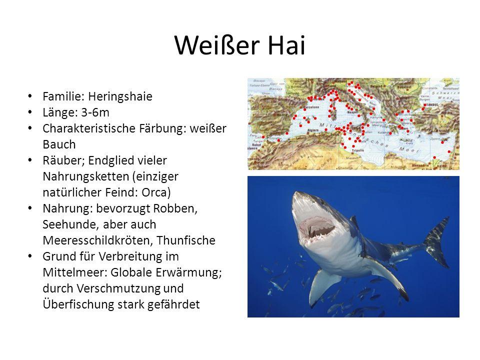Weißer Hai Familie: Heringshaie Länge: 3-6m