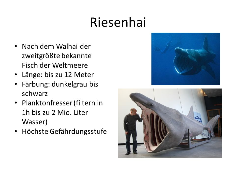 Riesenhai Nach dem Walhai der zweitgrößte bekannte Fisch der Weltmeere