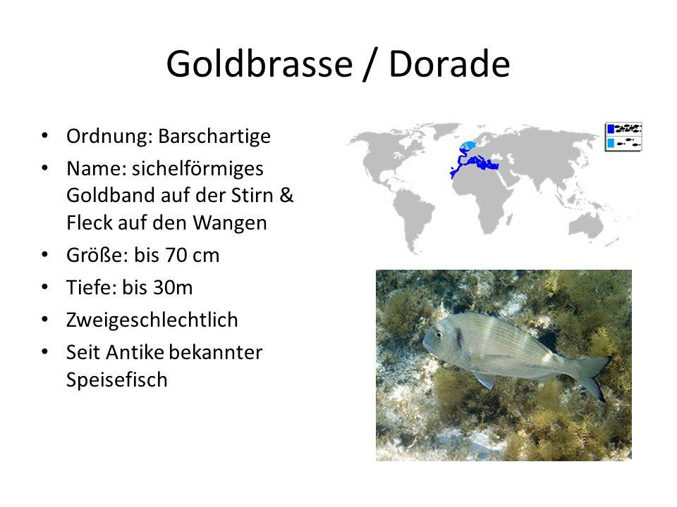 Goldbrasse / Dorade Ordnung: Barschartige