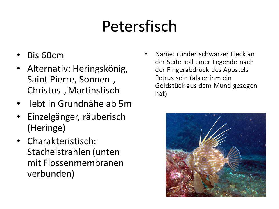 Petersfisch Bis 60cm. Alternativ: Heringskönig, Saint Pierre, Sonnen-, Christus-, Martinsfisch. lebt in Grundnähe ab 5m.