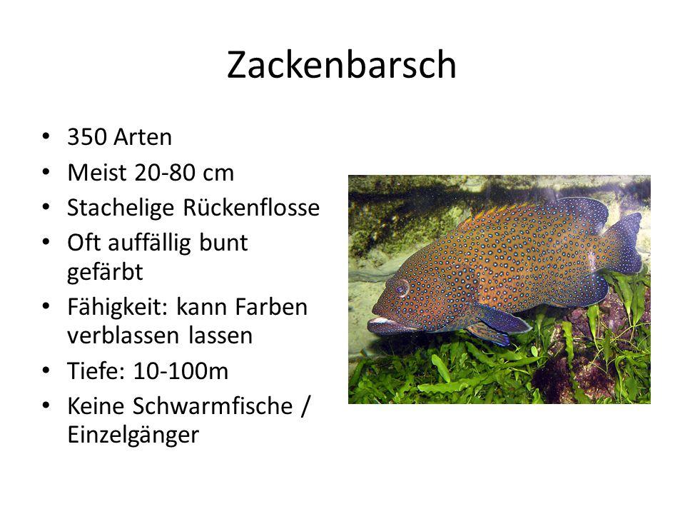 Zackenbarsch 350 Arten Meist 20-80 cm Stachelige Rückenflosse