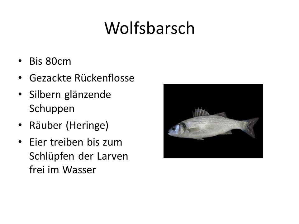 Wolfsbarsch Bis 80cm Gezackte Rückenflosse Silbern glänzende Schuppen