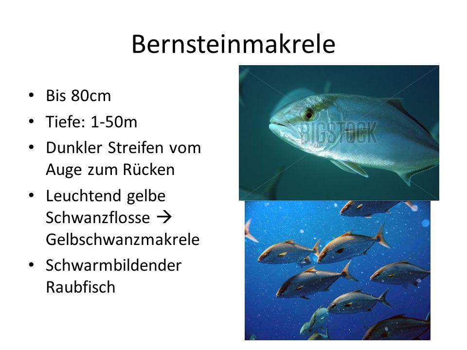 Bernsteinmakrele Bis 80cm Tiefe: 1-50m