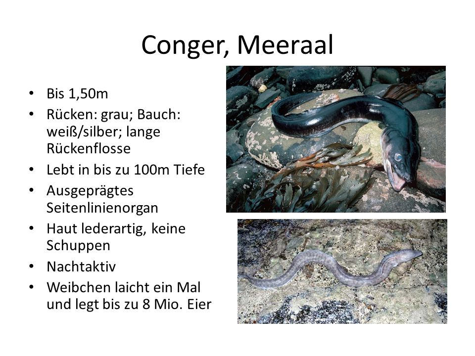 Conger, Meeraal Bis 1,50m. Rücken: grau; Bauch: weiß/silber; lange Rückenflosse. Lebt in bis zu 100m Tiefe.