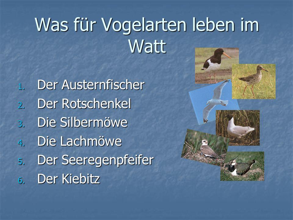 Was für Vogelarten leben im Watt