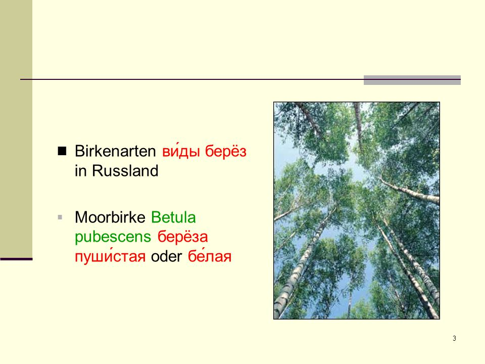 Birkenarten ви́ды берëз in Russland