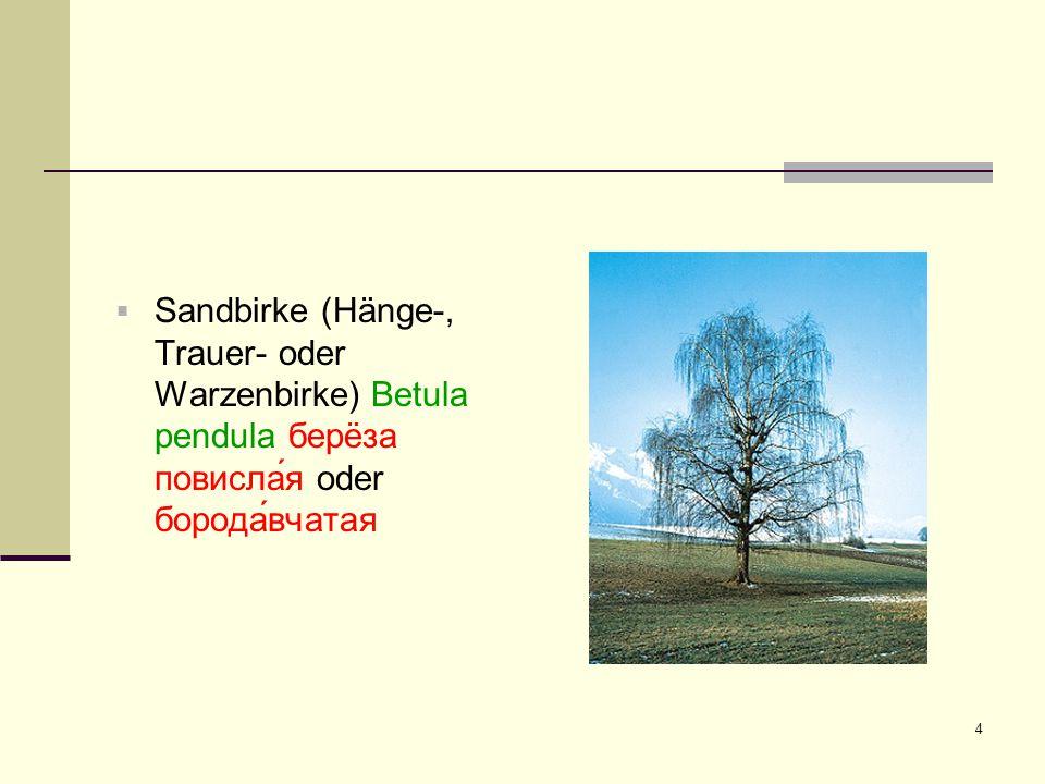 Sandbirke (Hänge-, Trauer- oder Warzenbirke) Betula pendula берëза повисла́я oder борода́вчатая
