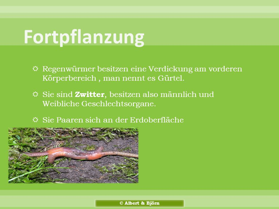 Fortpflanzung Regenwürmer besitzen eine Verdickung am vorderen Körperbereich , man nennt es Gürtel.