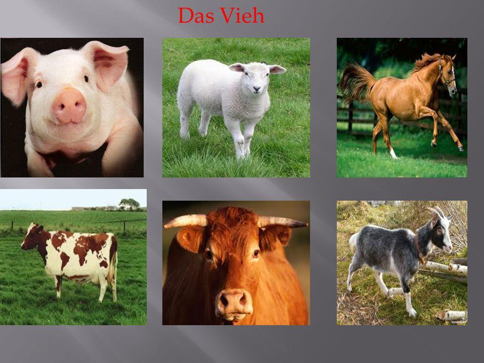 Das Vieh