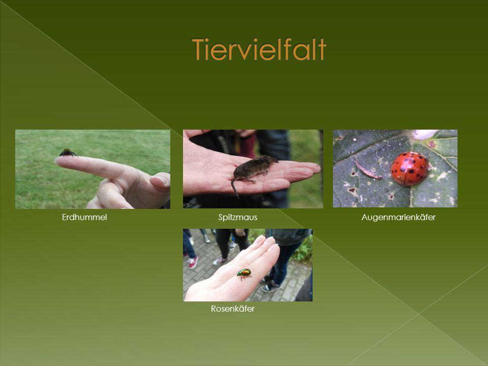 Tiervielfalt Erdhummel Spitzmaus Augenmarienkäfer Rosenkäfer