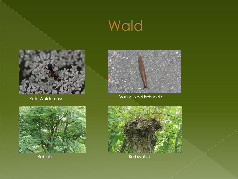 Wald Braune Nacktschnecke Rote Waldameise Robinie Korbweide
