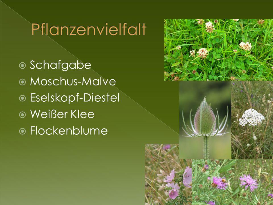 Pflanzenvielfalt Schafgabe Moschus-Malve Eselskopf-Diestel Weißer Klee
