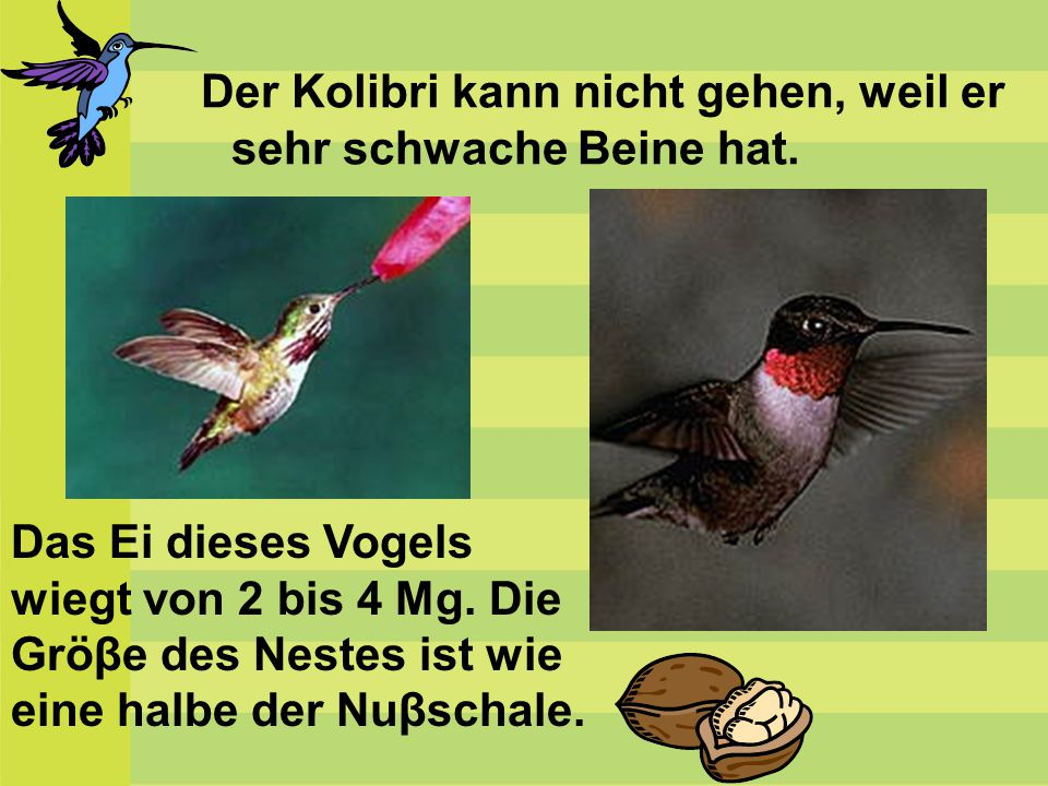 Der Kolibri kann nicht gehen, weil er sehr schwache Beine hat.