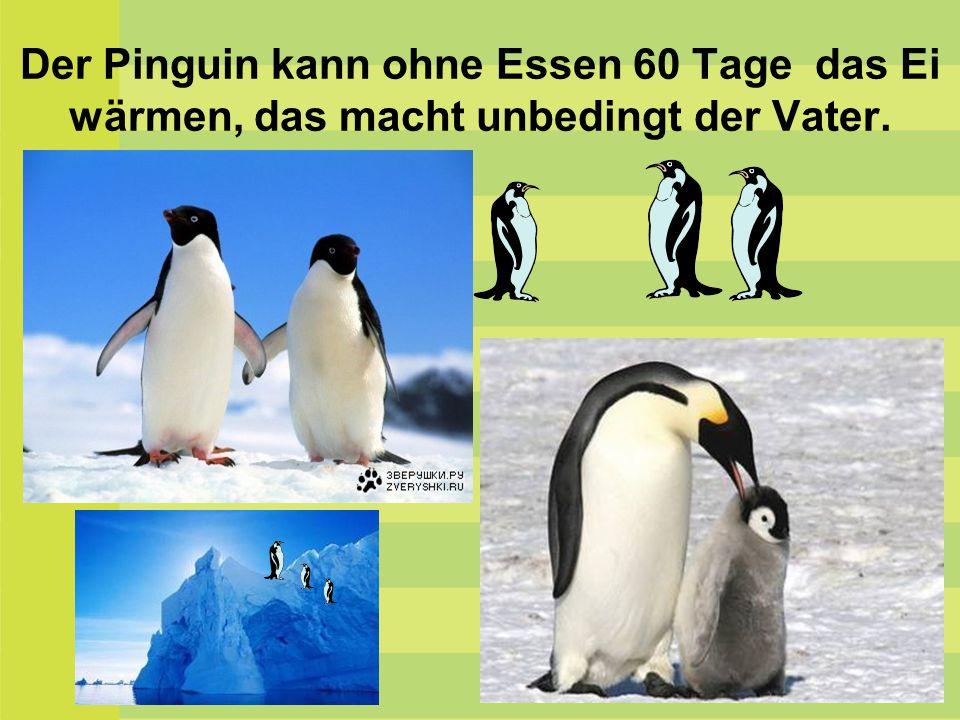 Der Pinguin kann ohne Essen 60 Tage das Ei wärmen, das macht unbedingt der Vater.
