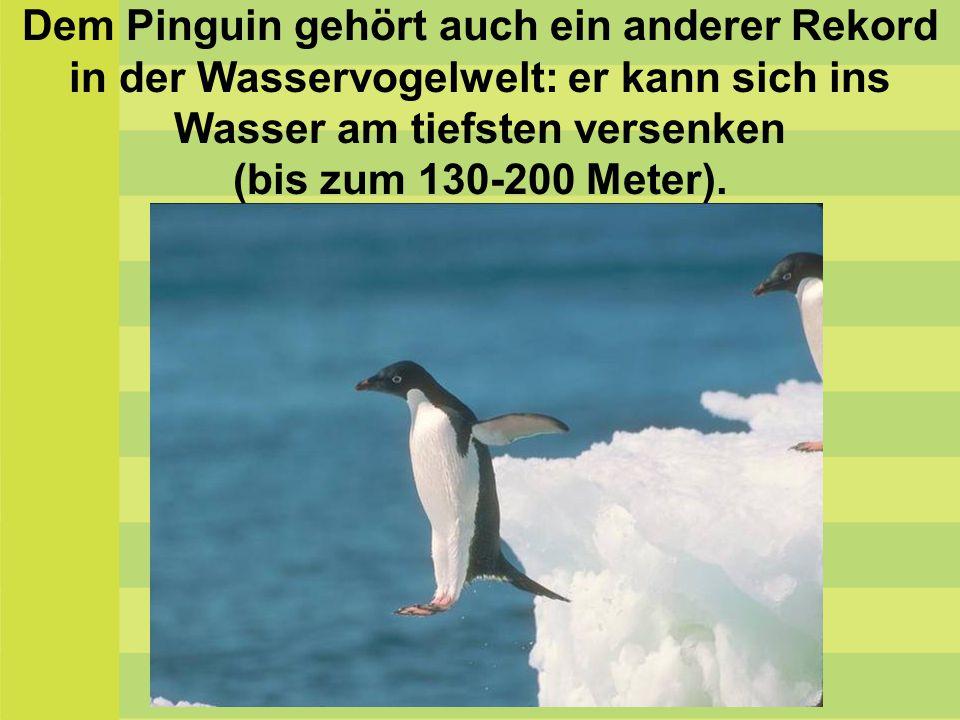 Dem Pinguin gehört auch ein anderer Rekord in der Wasservogelwelt: er kann sich ins Wasser am tiefsten versenken (bis zum 130-200 Meter).