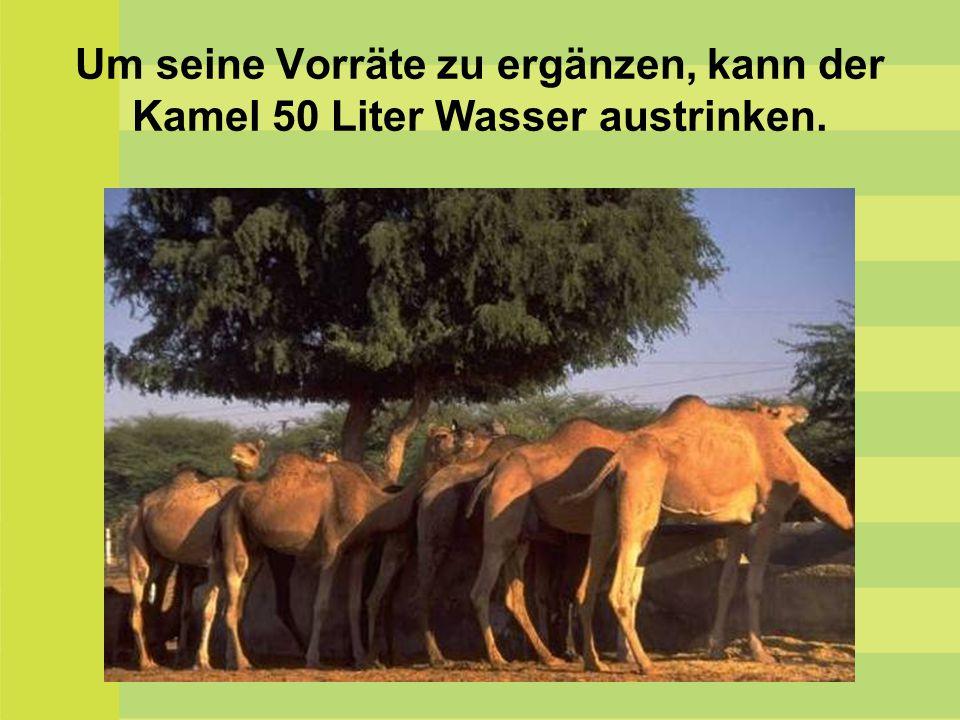 Um seine Vorräte zu ergänzen, kann der Kamel 50 Liter Wasser austrinken.