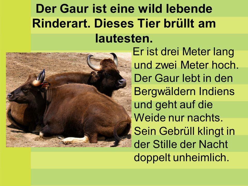 Der Gaur ist eine wild lebende Rinderart