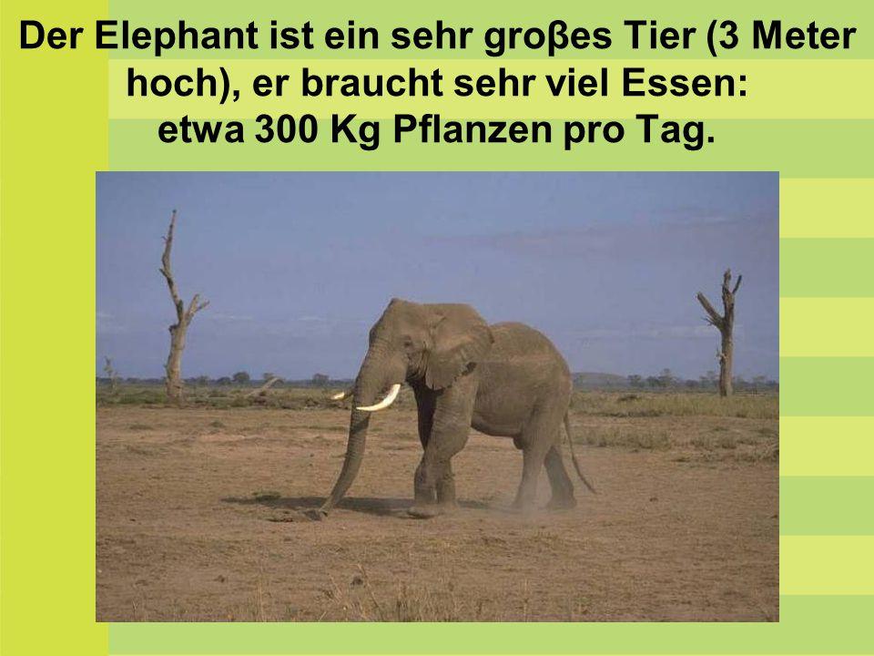 Der Elephant ist ein sehr groβes Tier (3 Meter hoch), er braucht sehr viel Essen: etwa 300 Kg Pflanzen pro Tag.