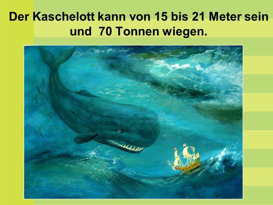Der Kaschelott kann von 15 bis 21 Meter sein und 70 Tonnen wiegen.