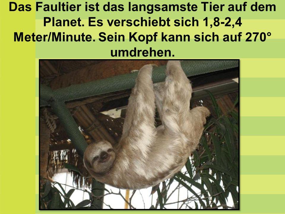Das Faultier ist das langsamste Tier auf dem Planet