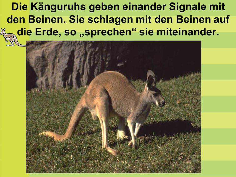Die Känguruhs geben einander Signale mit den Beinen