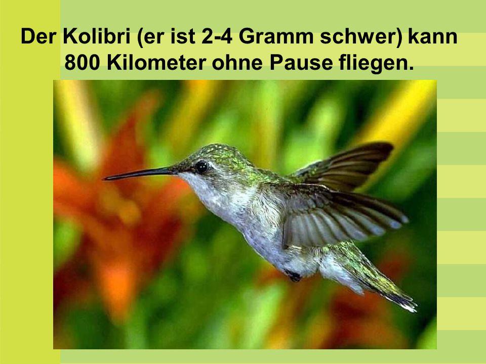 Der Kolibri (er ist 2-4 Gramm schwer) kann 800 Kilometer ohne Pause fliegen.