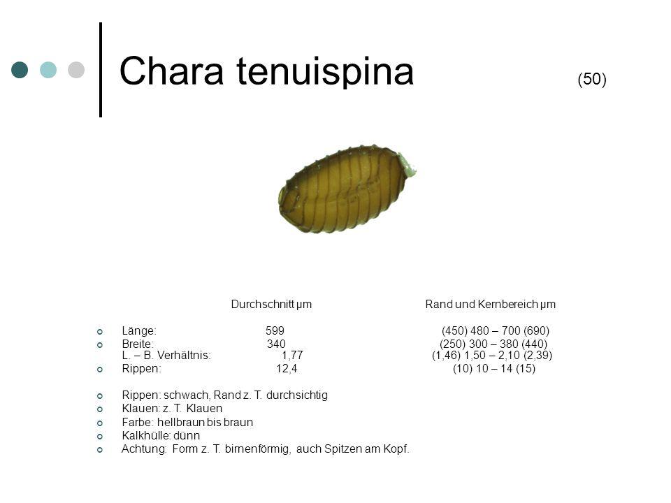 Chara tenuispina (50) Länge: 599 (450) 480 – 700 (690)