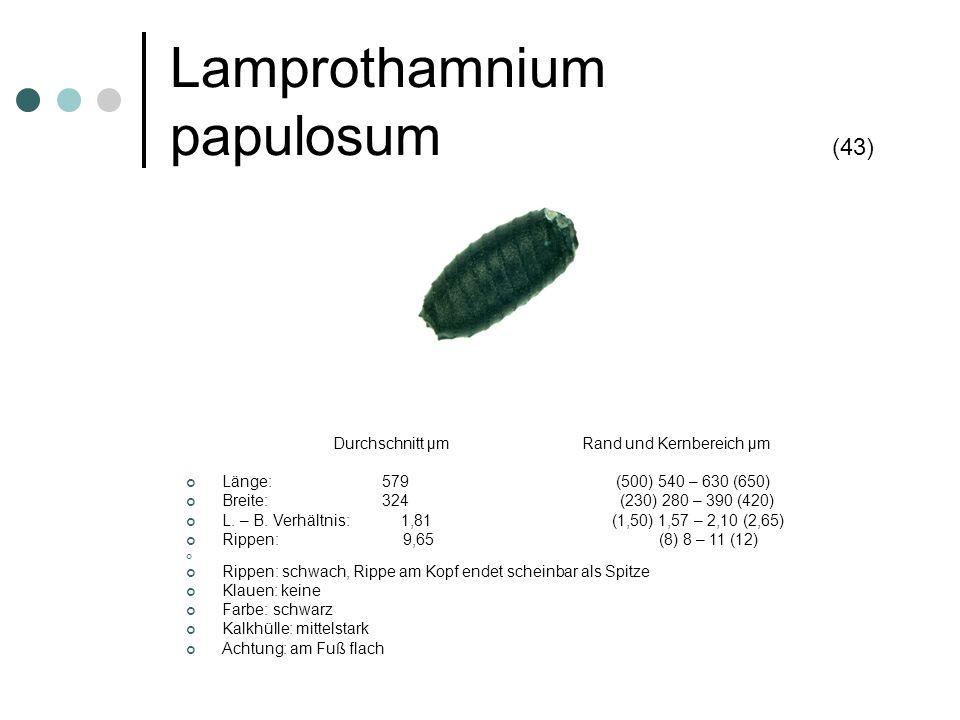 Lamprothamnium papulosum (43)