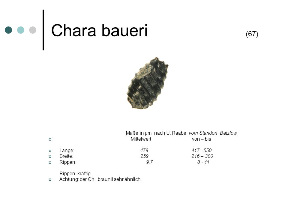 Chara baueri (67) Maße in µm nach U. Raabe vom Standort Batzlow