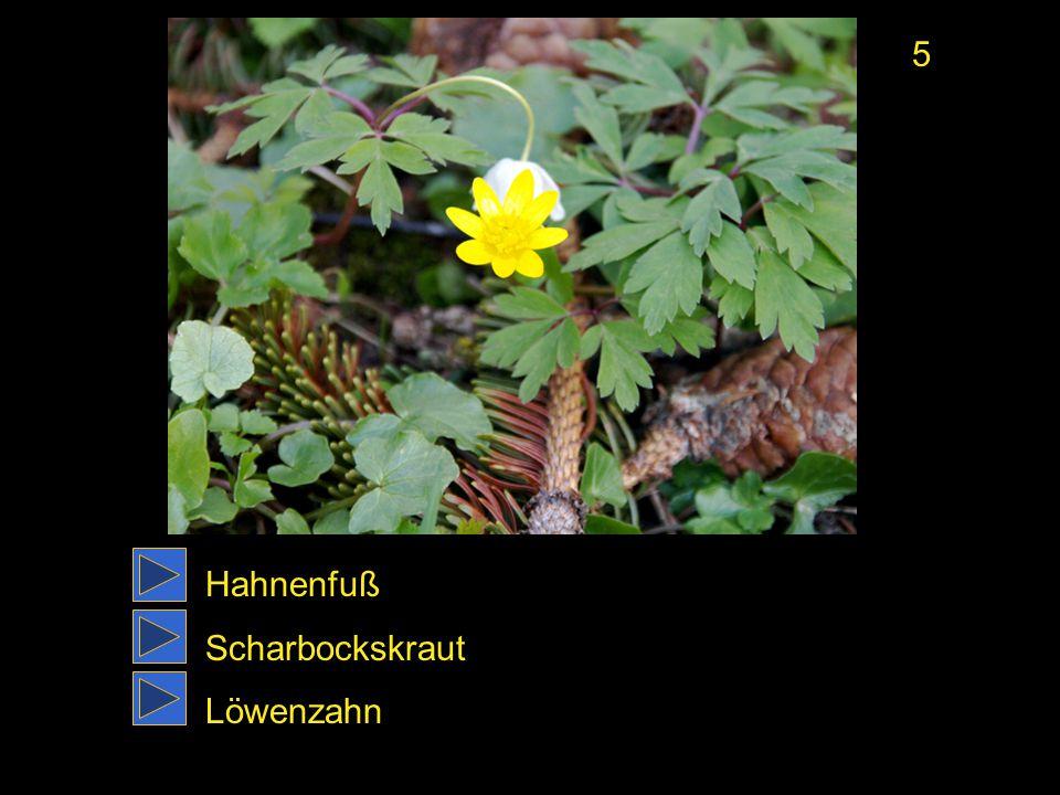 5 Hahnenfuß Scharbockskraut Löwenzahn