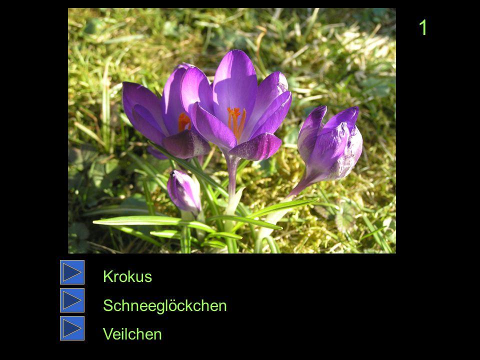 1 Krokus Schneeglöckchen Veilchen