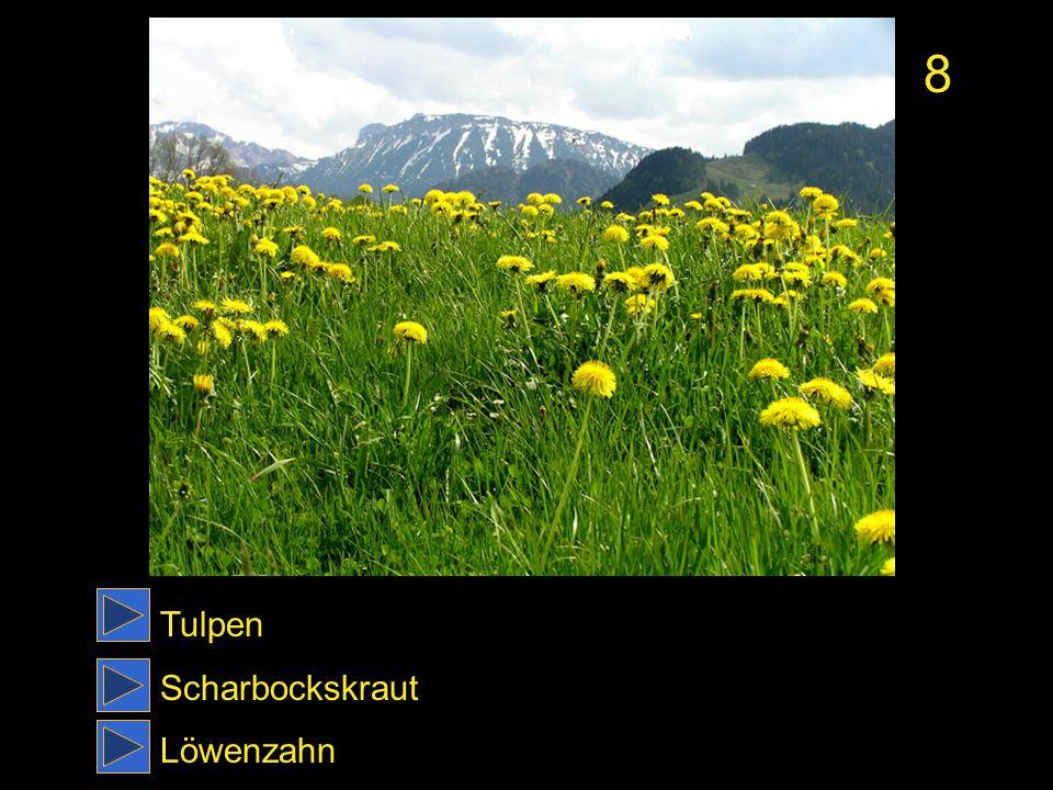 8 Tulpen Scharbockskraut Löwenzahn