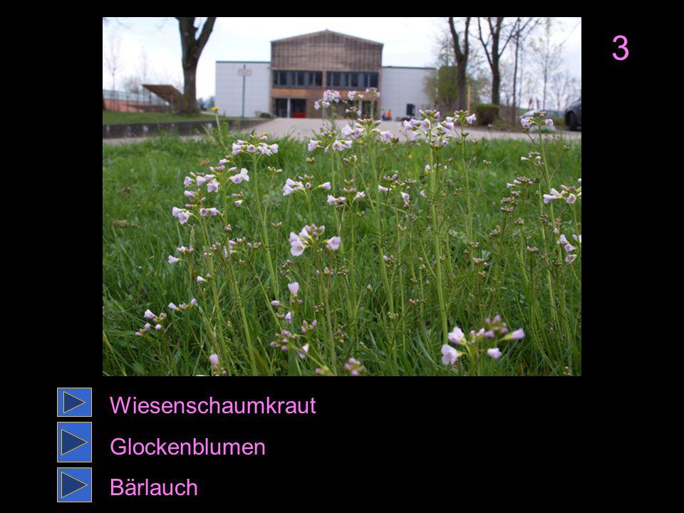 3 Wiesenschaumkraut Glockenblumen Bärlauch