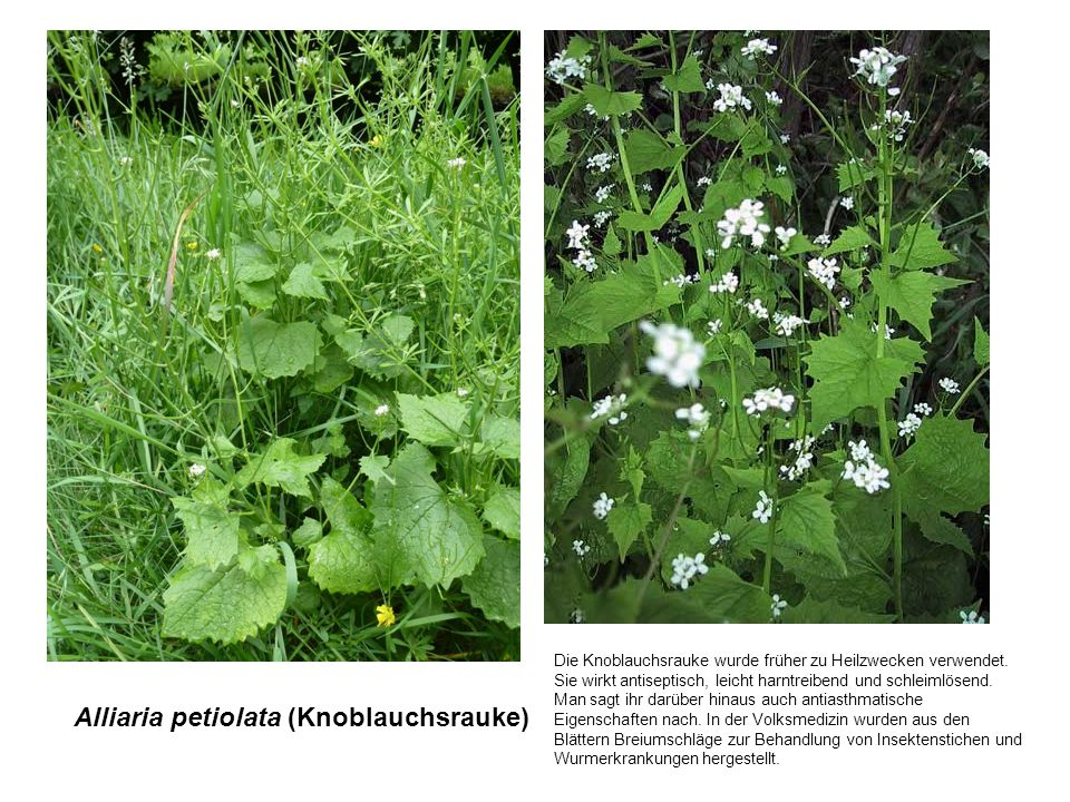Alliaria petiolata (Knoblauchsrauke)