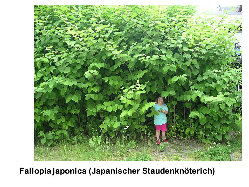 Fallopia japonica (Japanischer Staudenknöterich)