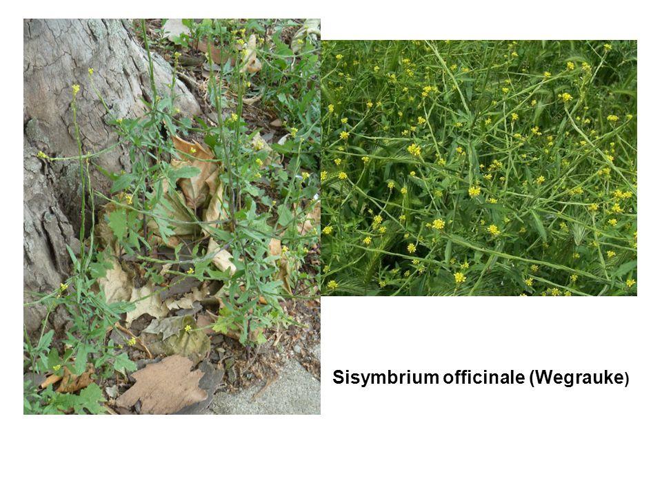Sisymbrium officinale (Wegrauke)
