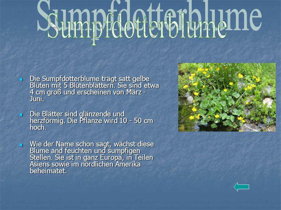Sumpfdotterblume Die Sumpfdotterblume trägt satt gelbe Blüten mit 5 Blütenblättern. Sie sind etwa 4 cm groß und erscheinen von März - Juni.